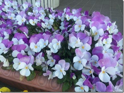 久里浜行政センター前の花 (2)