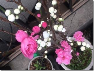 2016年春玄関付近を彩る花々 (1)