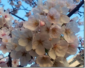 かもめ団地春の花々2018年 (4)