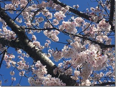 くりはま花の国への道路 桜並木 (7)